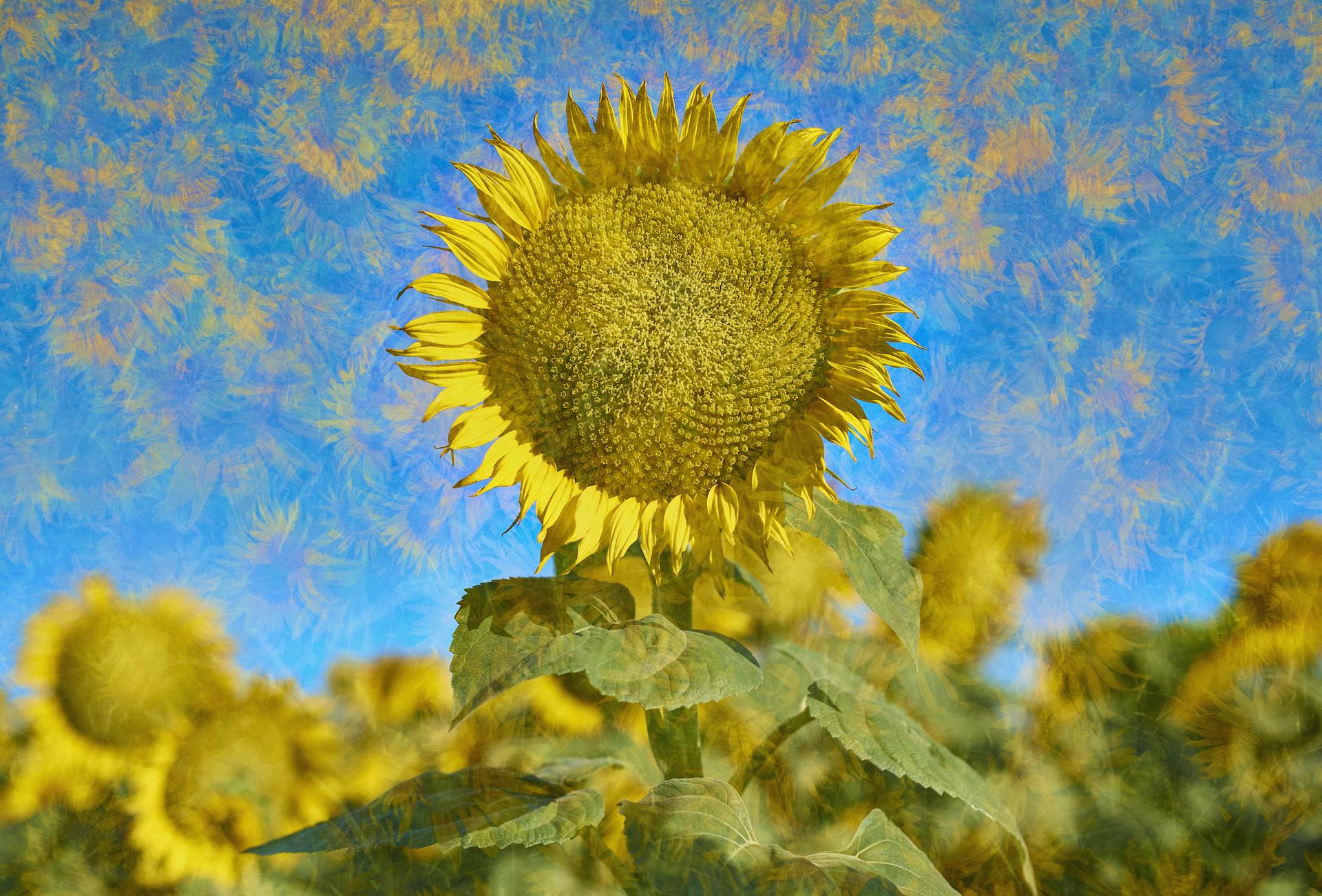 Sunflower Daydream, Alan Fishleder, Photograph