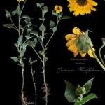 """Elizabeth Kenneday-Corathers, Prairie Sunflower, Pigment ink print, 18"""" x 23"""", 2018"""