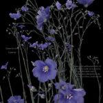 "Elizabeth Kenneday-Corathers, Wild Blue Flax, Pigment Ink print, 18"" x 23"", 2019"