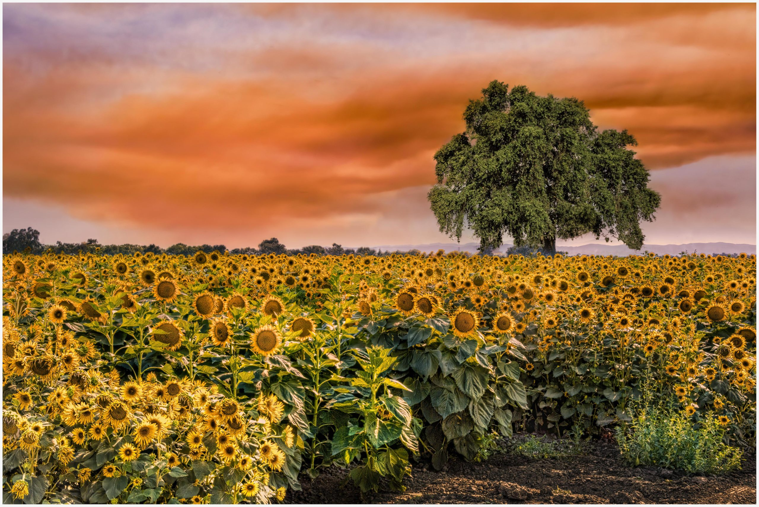 Lucille Van Ommering, Sunflowers Backlit by Napa Wildfires, Photograph