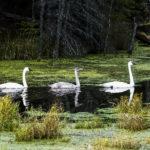 """Larry Miyamura, Three Swans, Photograph, 16""""x20"""""""