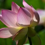 "Mary Ann Carrasco, Lotus Flower, Photograph, 26.5""x22.5"""